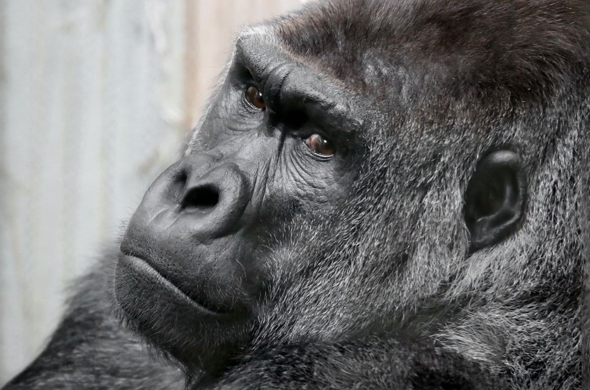 Download The Most Beautiful Gorilla Wallpapers Thoughtful