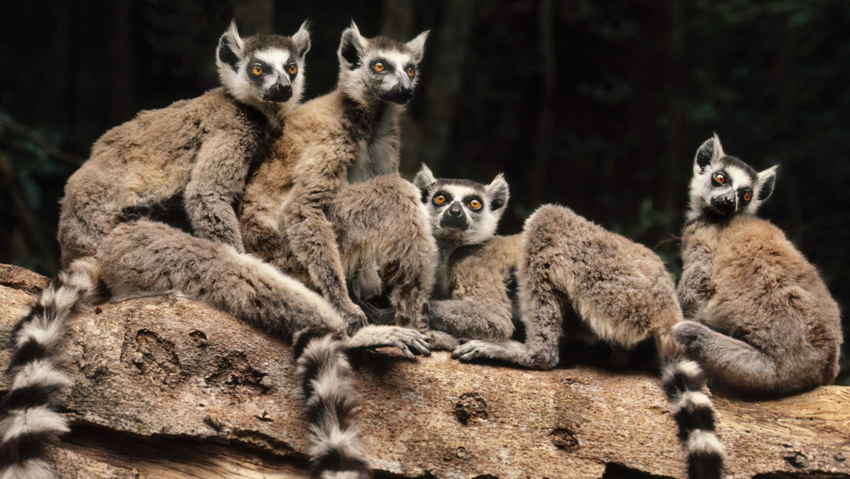 Download Wallpaper Lemur Glance Animal Wildlife Funny