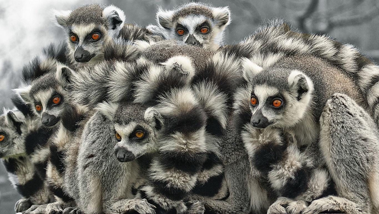 Download Wallpaper Lemur Look Iphone 8 7 6s 6 Pensive