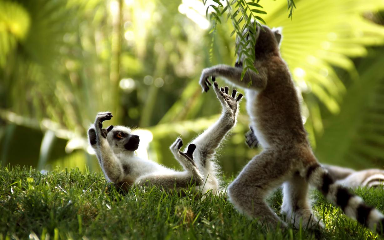 Download Wallpaper Lemur Wildlife Iphone 8 7 6s 6 View