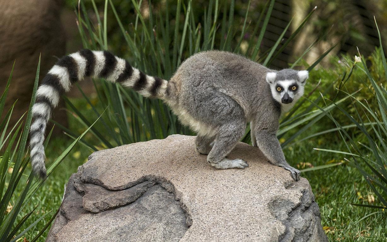 Download Wallpaper Ring Tailed Animal Wildlife Lemur