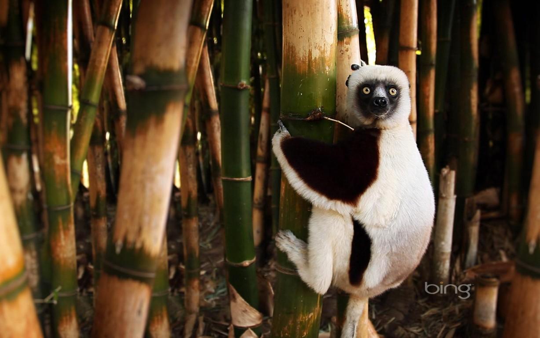 Download Wallpaper Ring Tailed Lemur Katta Iphone Lemur