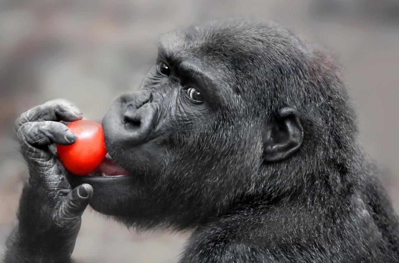 Download Wallpapers Gorilla Black Full Hd Hdtv Monkey