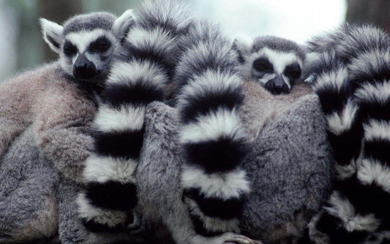 Download Wallpapers Lemur Lemurs Animals Branch