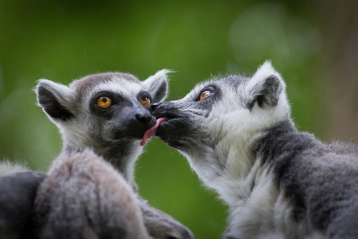 Download Wallpapers Lemur Lemurs Animals Moss Branch