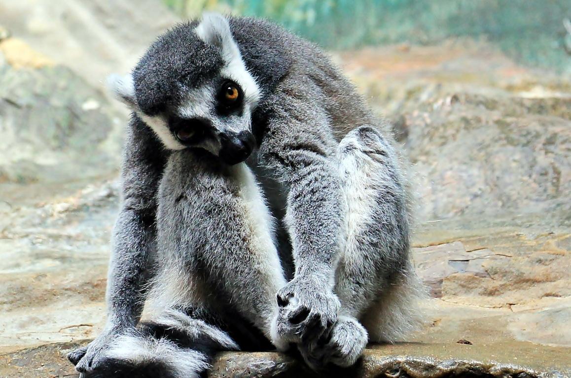 Download Wallpapers Lemur Lemurs Moss Animals