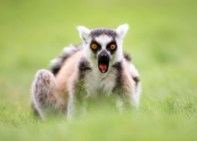 Download Wallpapers Lemur Lemurs Moss Branch