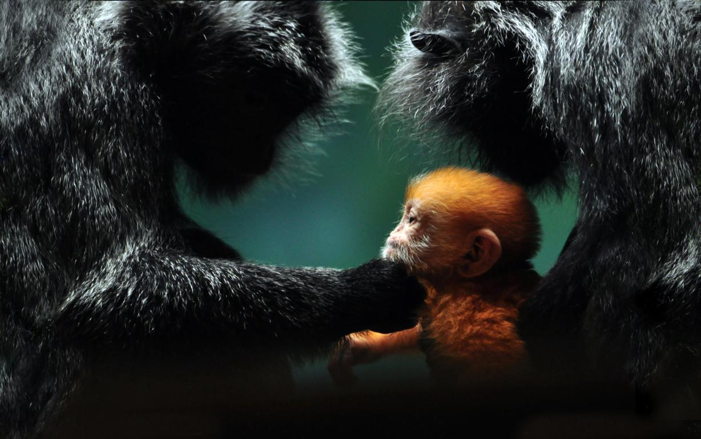 Download Wallpapers Monkey Chimpanzee Free Desktop Branch