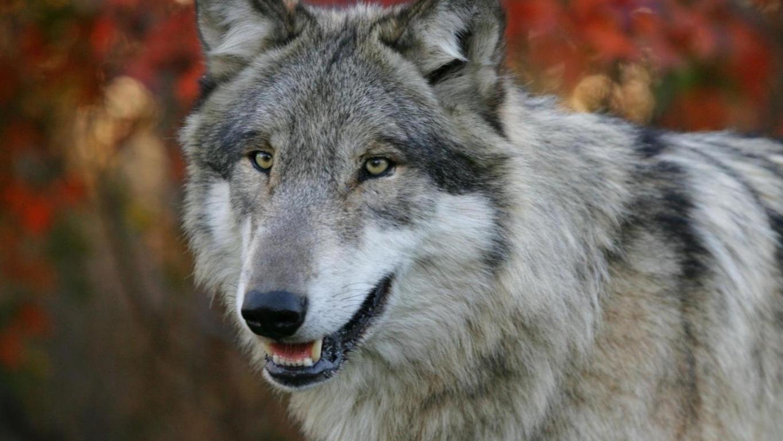 Fantasy Wolf Wallpaper HD