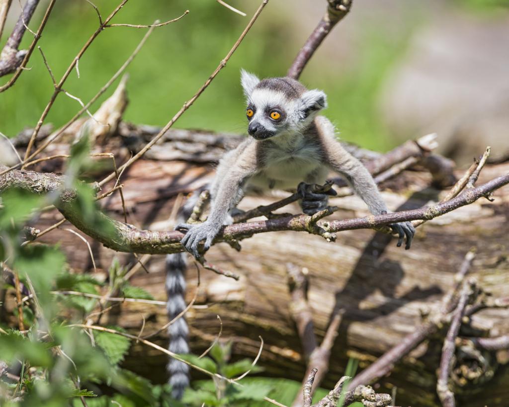 Funny Lemur On The Wallpaper Tree