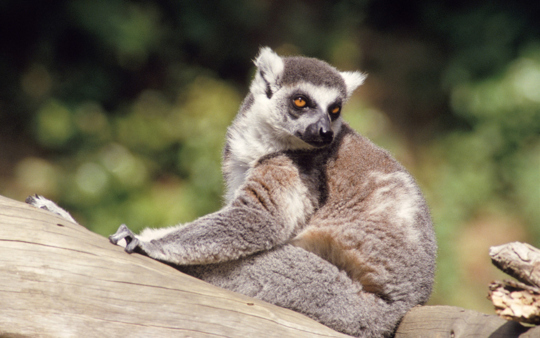Funny Lemurs wallpaper