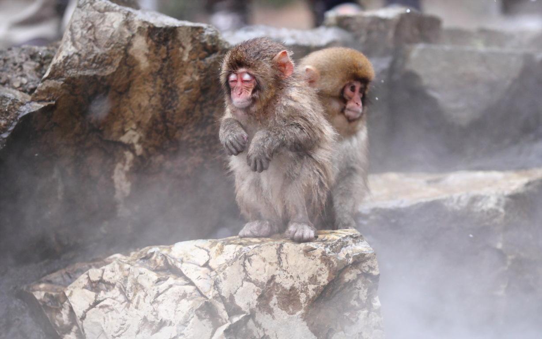 Funny Monkey HD wallpaper