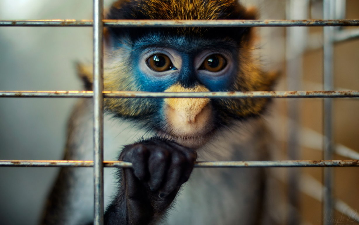 Funny Monkey Wallpapers