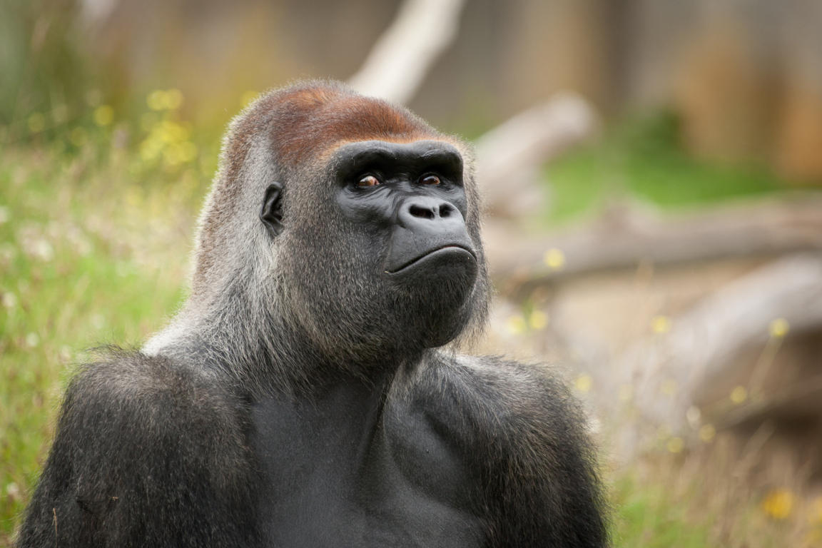 Gorilla Girl Monkey Forest Humor Funny Cute Situation