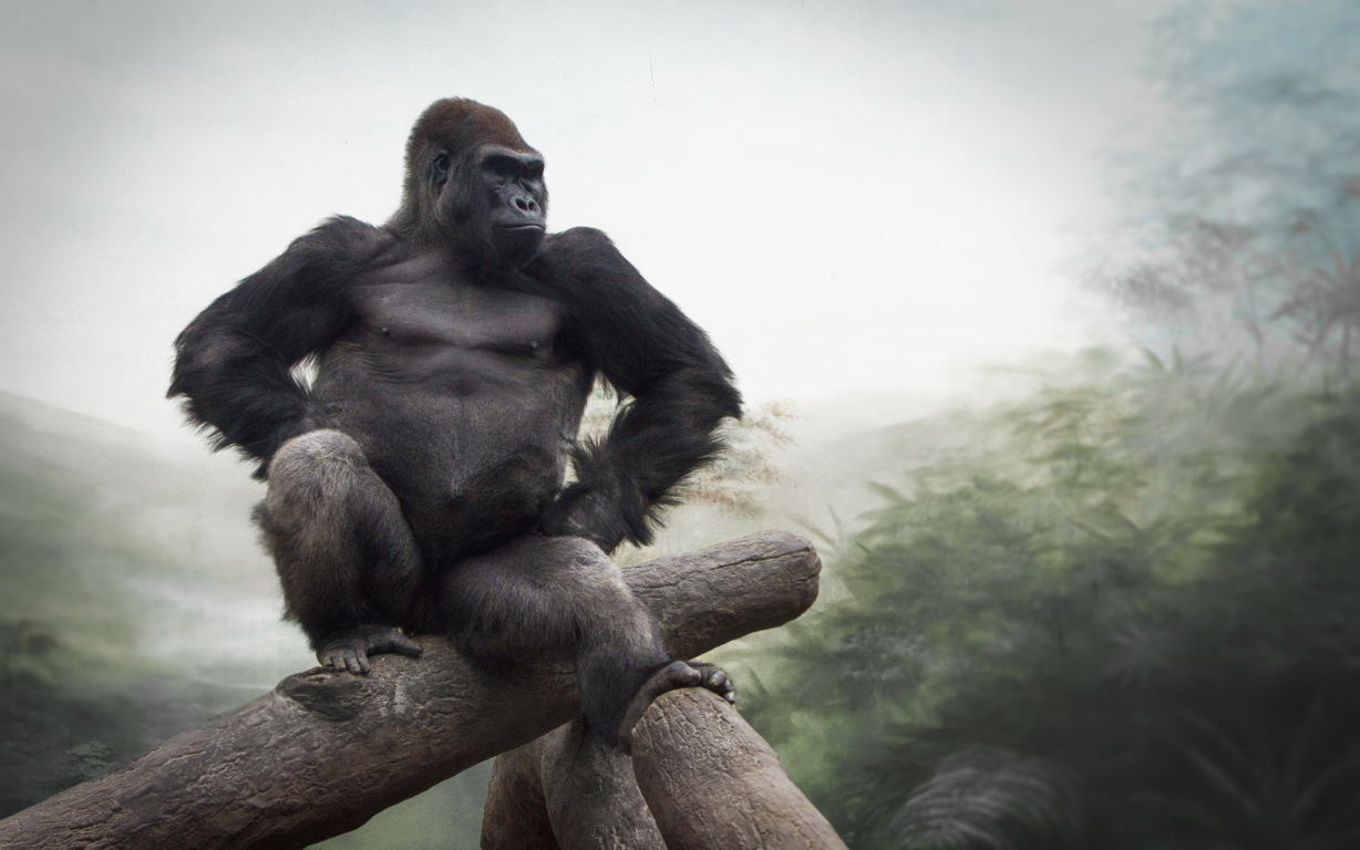Gorilla Hd And Background (2) Image