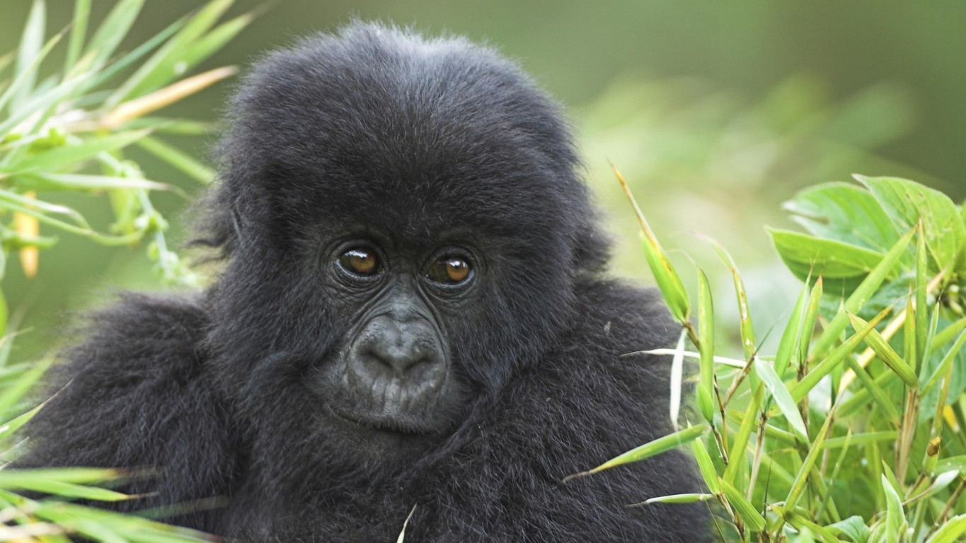Gorilla Hd Wallpaper And Image Background