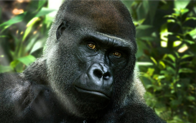 Gorilla Image Free