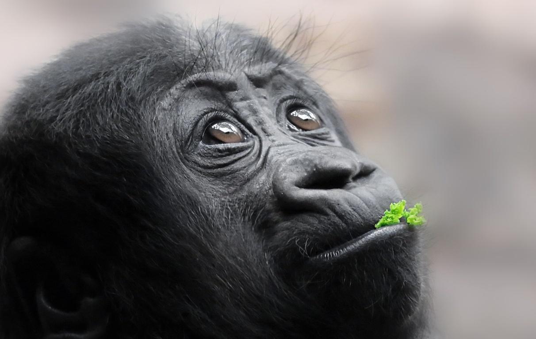 Gorilla Photos Wga