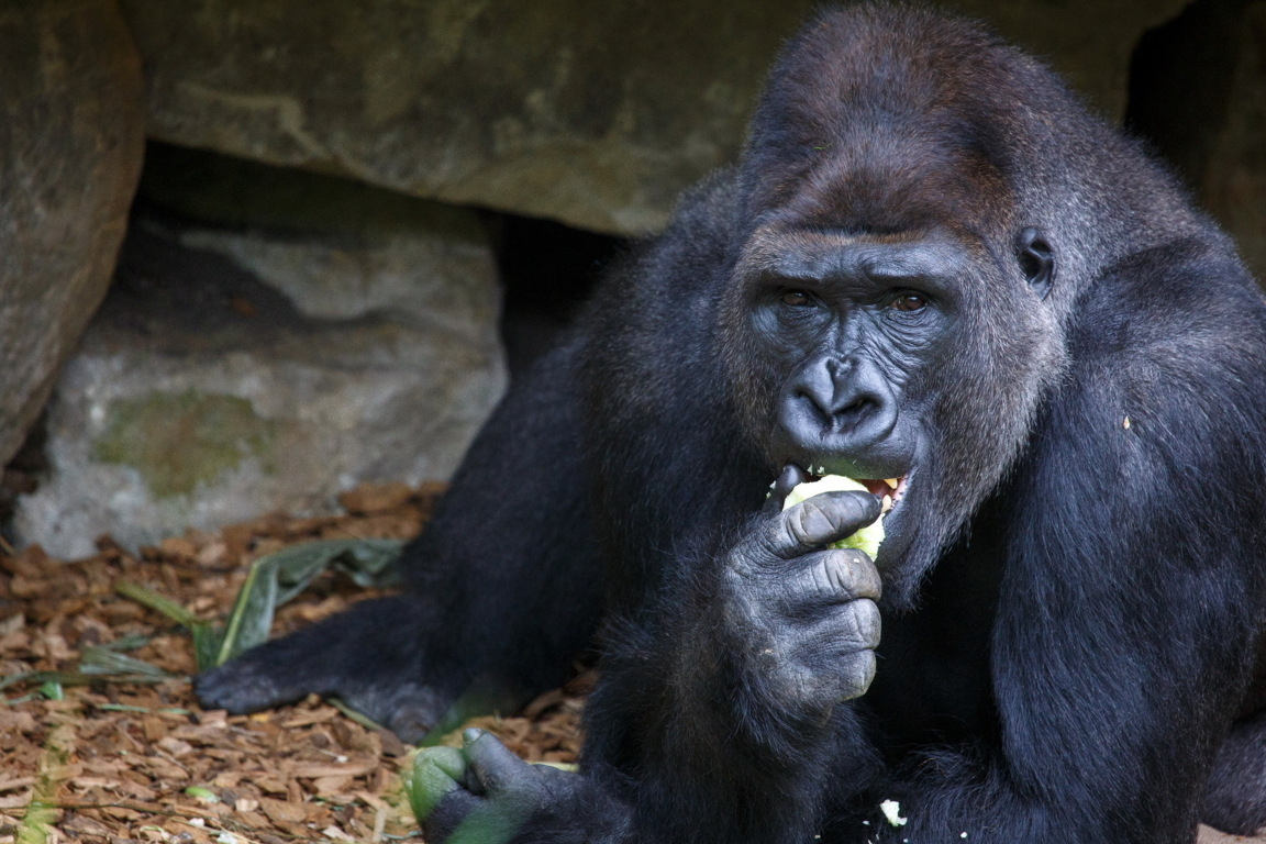 Gorilla Picture