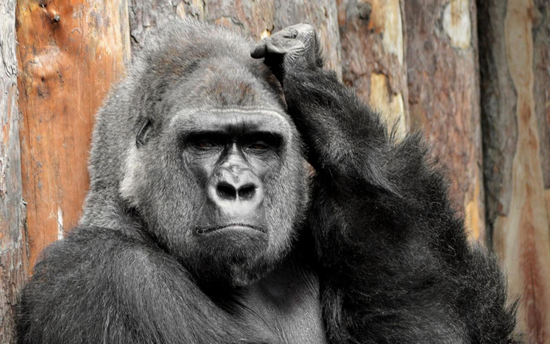 Gorilla Portrait 4k Hd Wallpaper For 4k Ultra Hd Tv Desktop