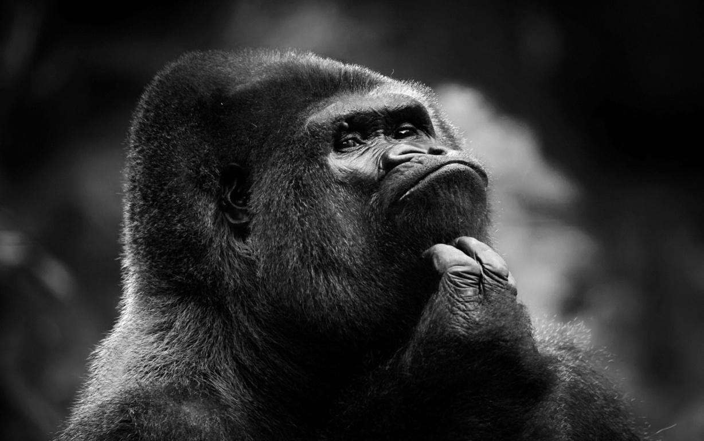 Gorilla Quotes Quotesgram Animal Silverback Gorilla Makeup