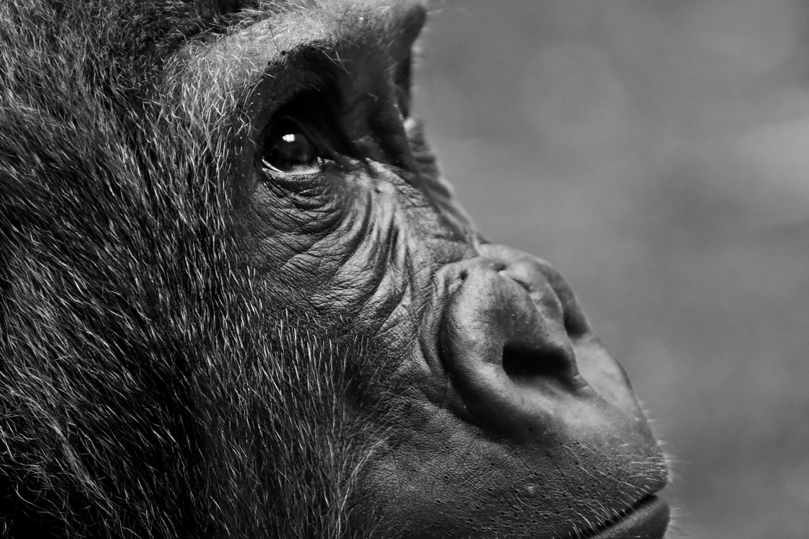 Gorilla Uhd 4k Wallpapers