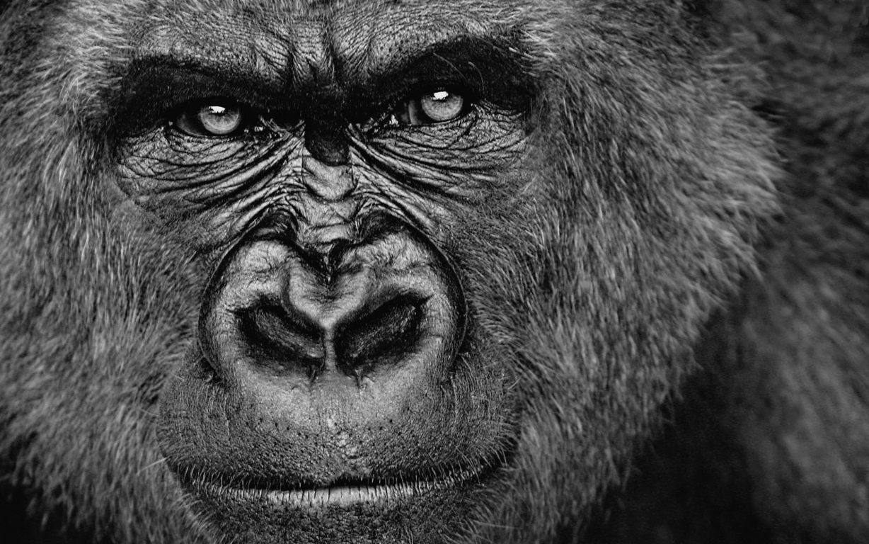 Gorilla Wallpaper Gorilla Stock Photo