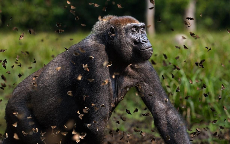 Gorilla Wallpaper Hd Background Pics Photo Free Image