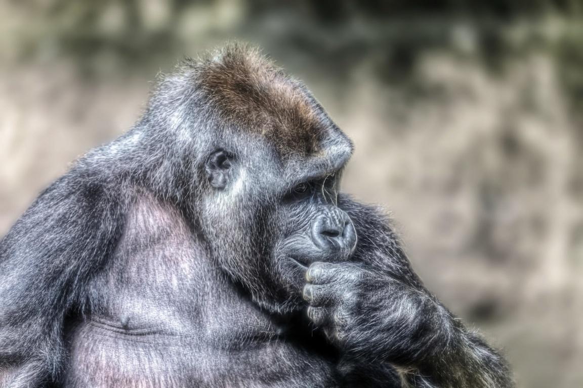 Gorilla Wallpapers Desktop Backgrounds