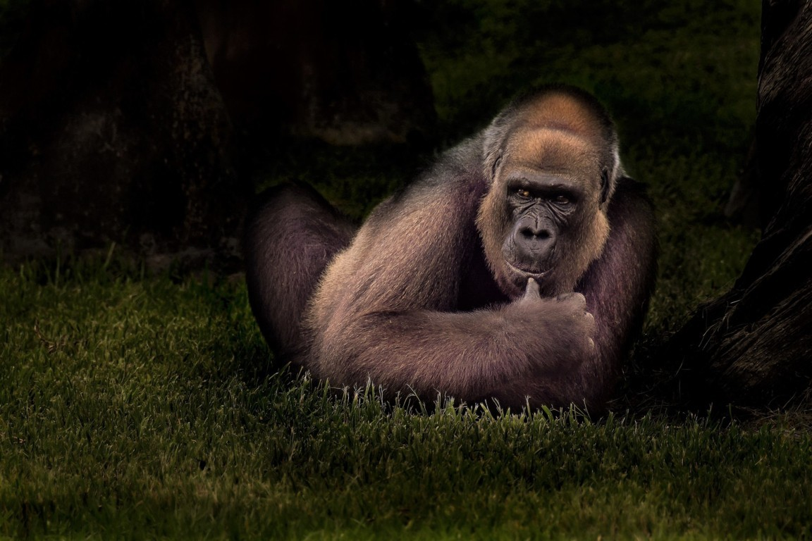 Gorilla Wallpapers Gallery