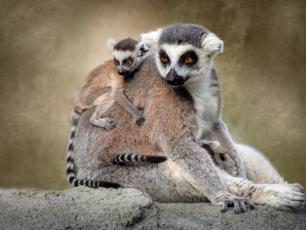 Lemur 4k Ultra Hd And Backgrounds Wallpapers