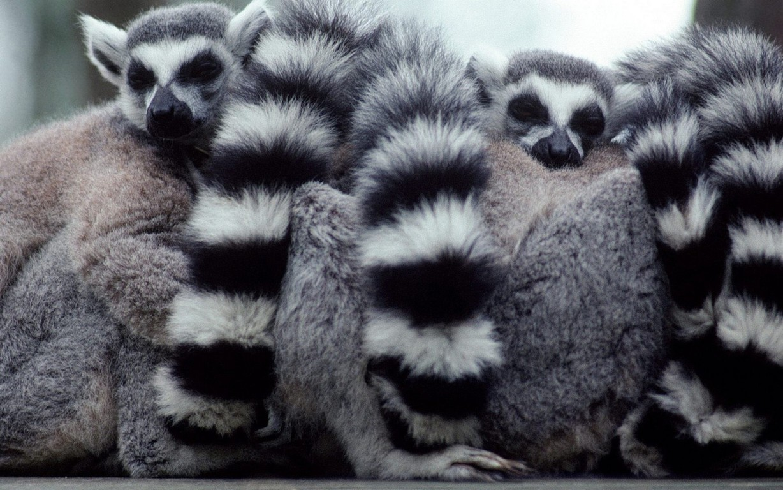 Lemur Coquerels Sifaka Sifaka And Backg Iphone Madagascar