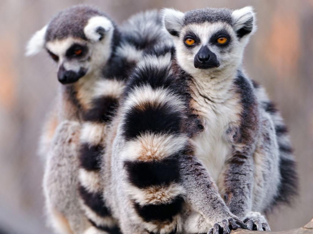 Lemur Cub Yellow Eyes 11 Pro Xs Max Wallpaper Iphone
