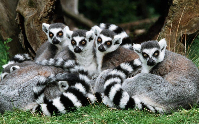 Lemur Eat Food Iphone 8 7 6 5 4 3gs Wallpaper Download X