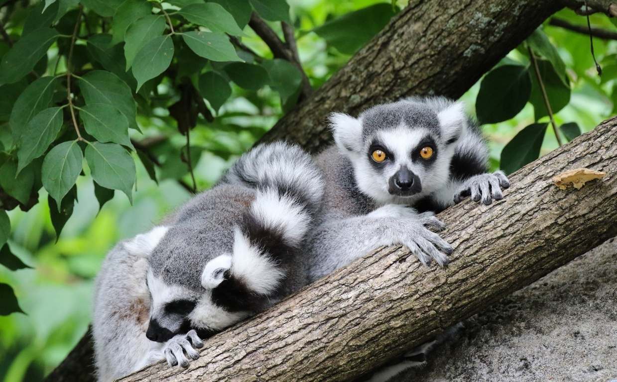 Lemur Full Hd Wallpapers Backgrounds And