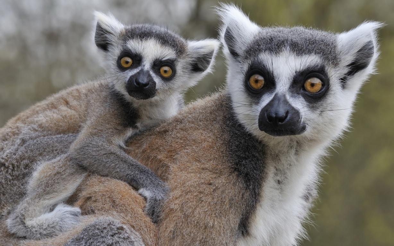 Lemur HD Desktops Wallpapers