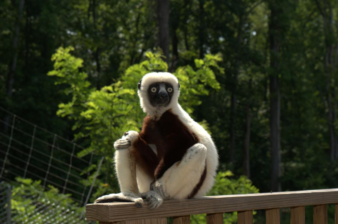 Lemur HD Wallpapers