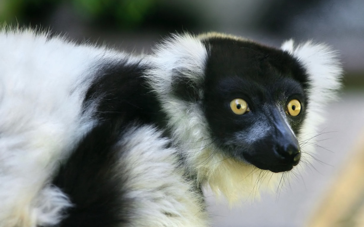 Lemur Look At You And Black Stripes Iphone 8 7 6 White