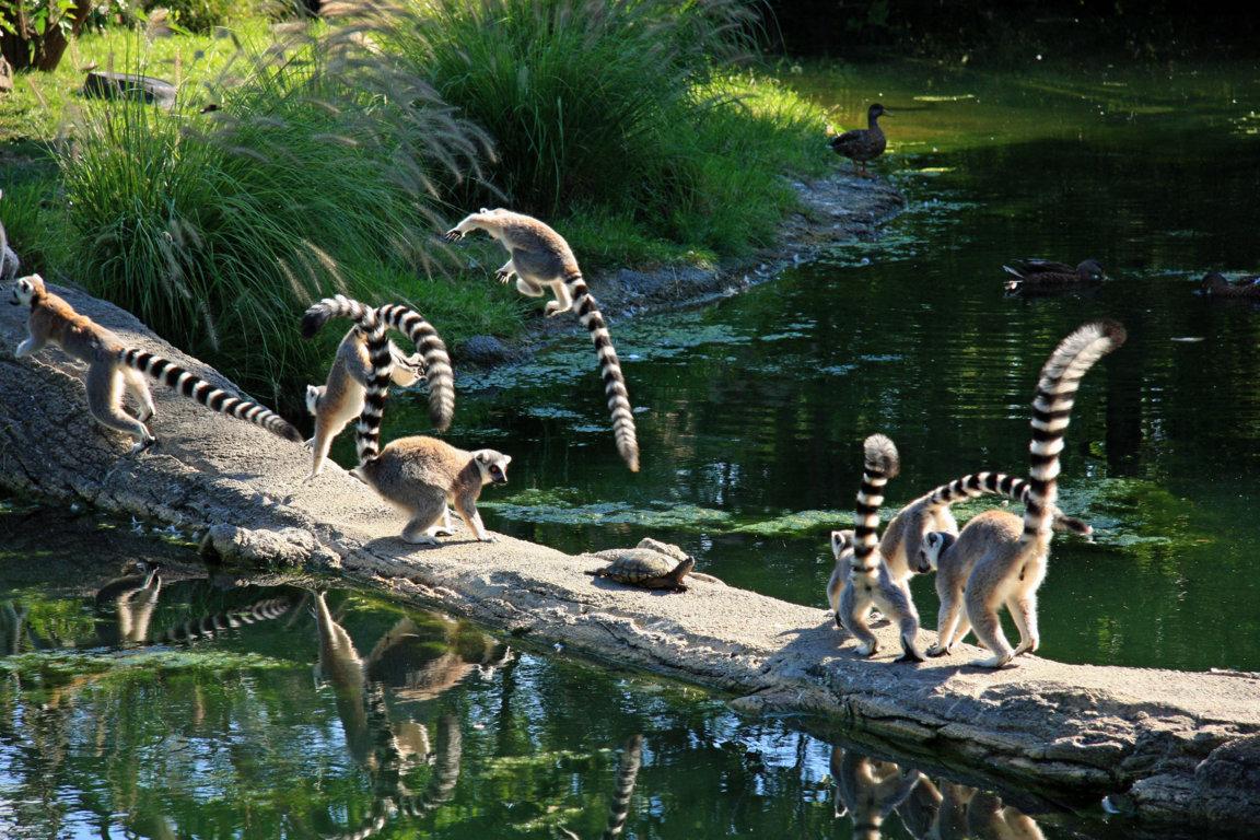 Lemur Wallpaper Lemur Wallpaper Lemur