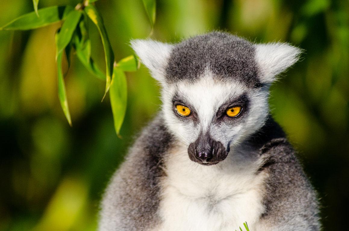 Lemur Wallpapers Animal Hq Pictures Lemur