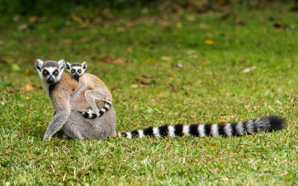 Lemur Wallpapers Image And Lemur Pictures Animals