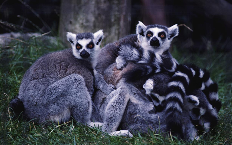 Lemur White And Black Iphone 11 Pro Xs Max Bamboo
