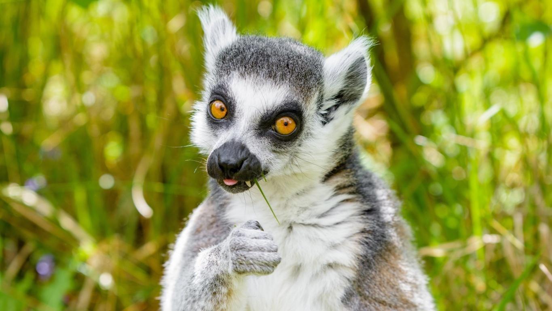 Lemur by Albany
