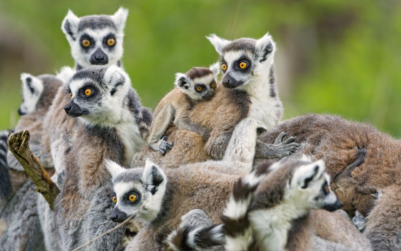 Lemurs Animals 4k Hd Wallpapers For 4k Ultra Hd Desktop