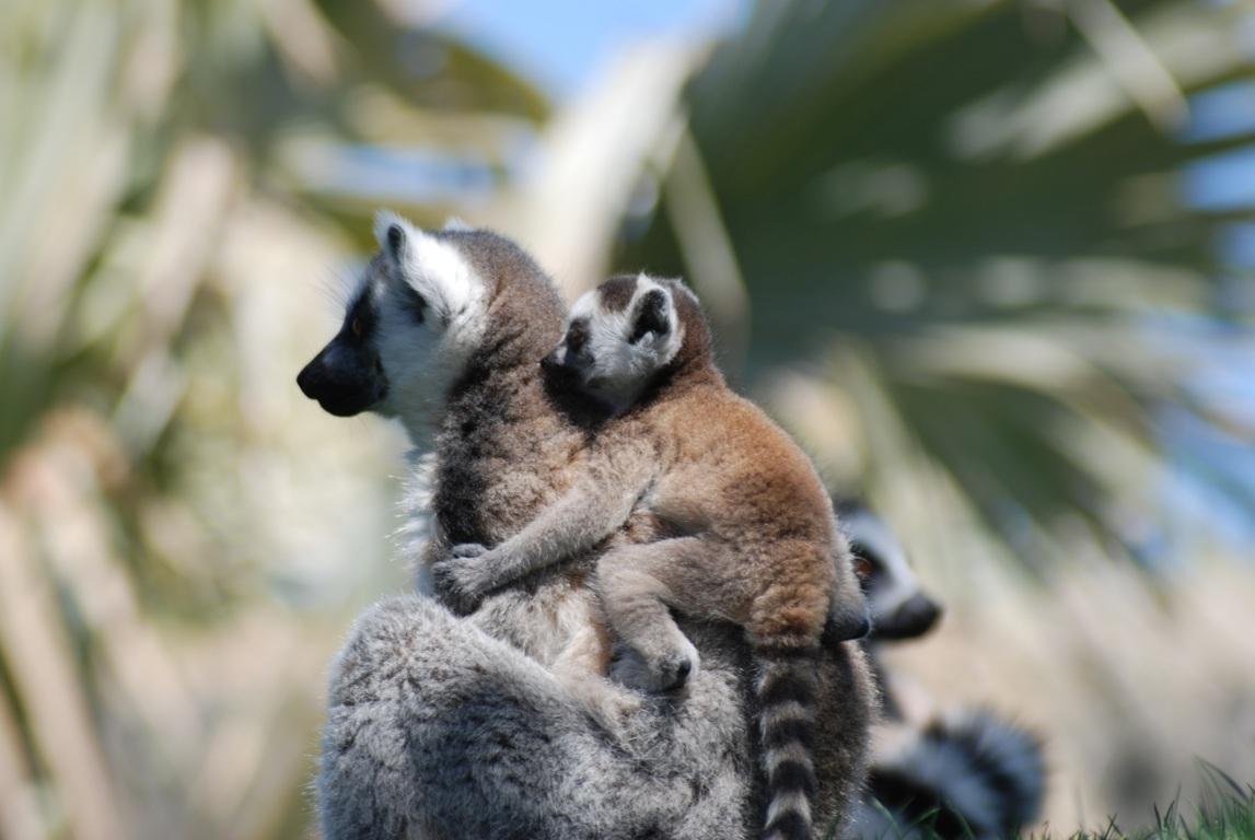 Lemurs Animals 4k Hd Wallpapers For 4k Ultra Hd Tv Desktop