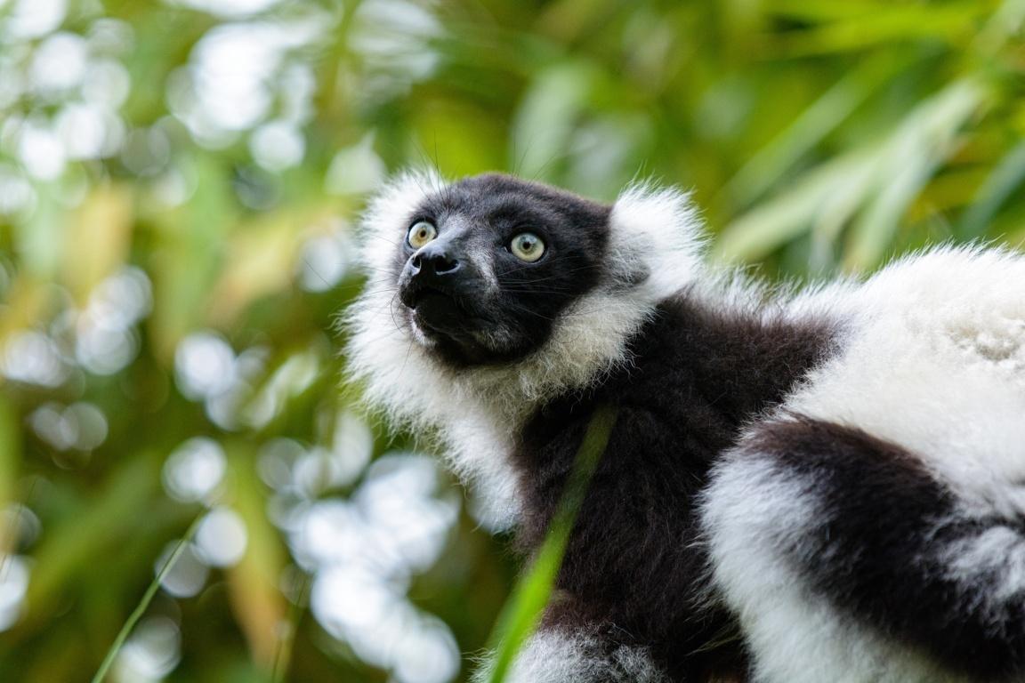 Lemurs Wallpapers HD