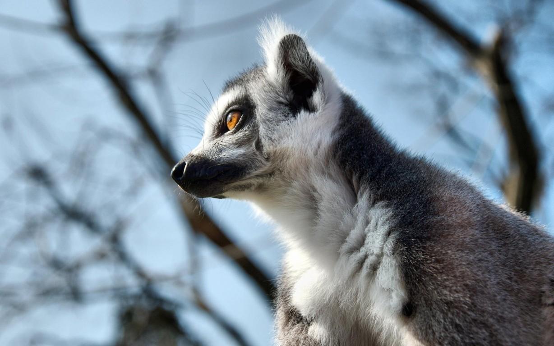Lemurs Wallpapers Lemurs Animals In Jpg Format For Free Wallpapers
