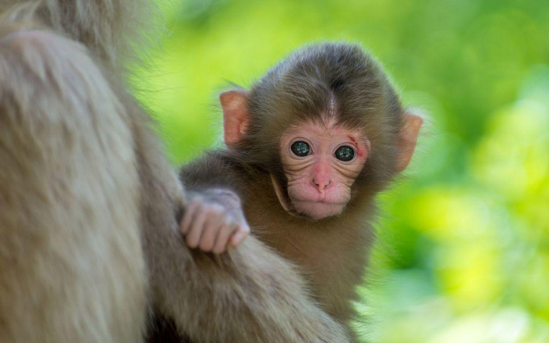 Monkey HD Wallpapers 4K