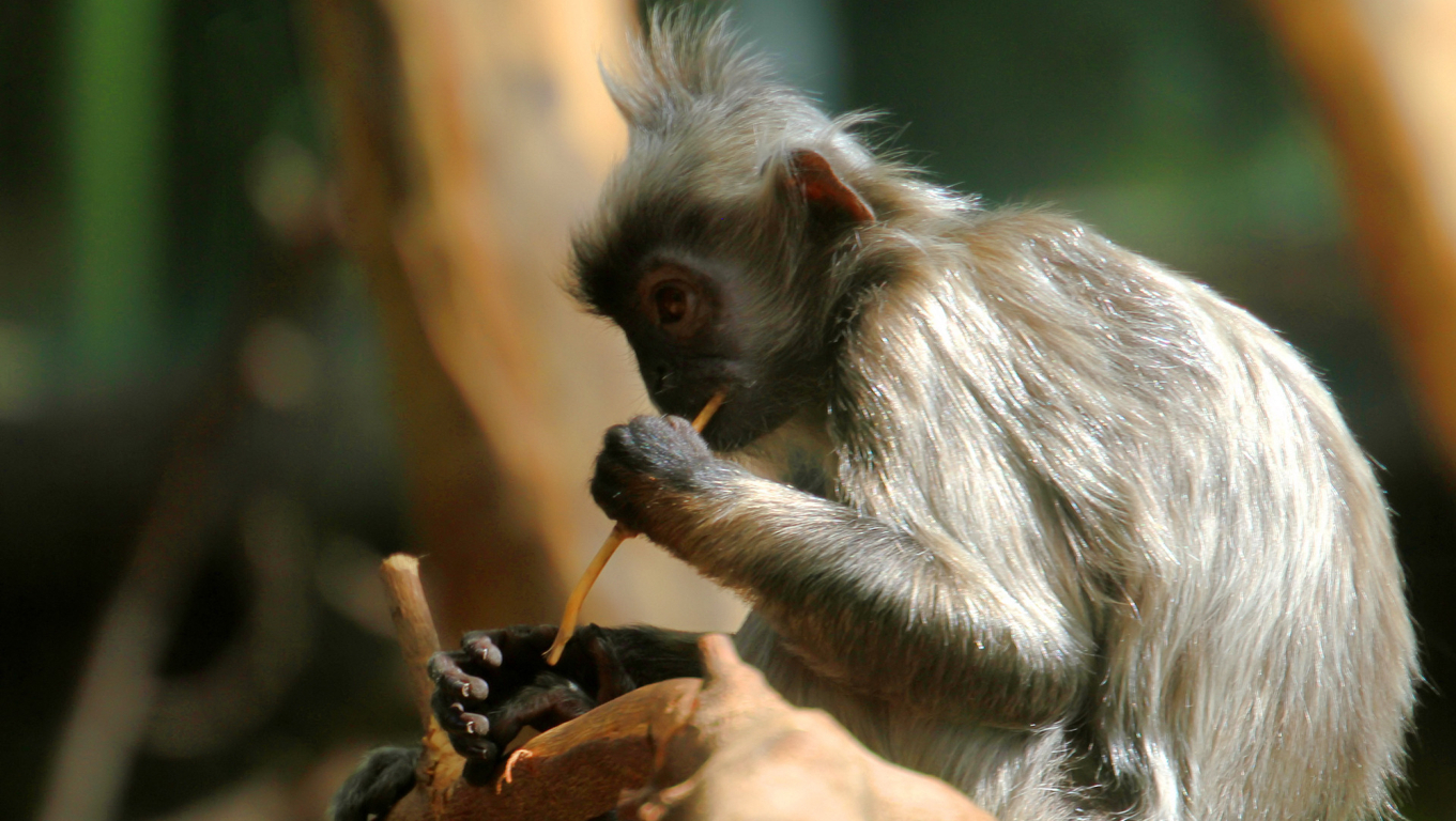 Monkey Hd Wallpaper And Image Background