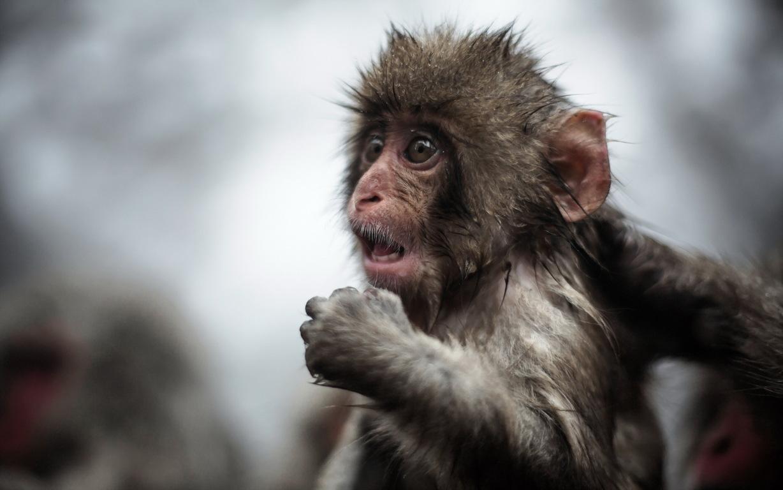 Monkey Wallpaper Free Download Wild Animals Desktop Image Best